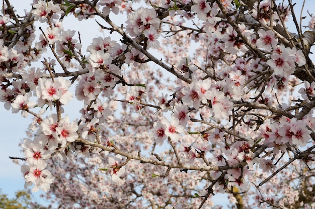 Almond tree in blossom close up