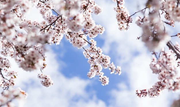 Almond tree branches in bloom detail with sky background