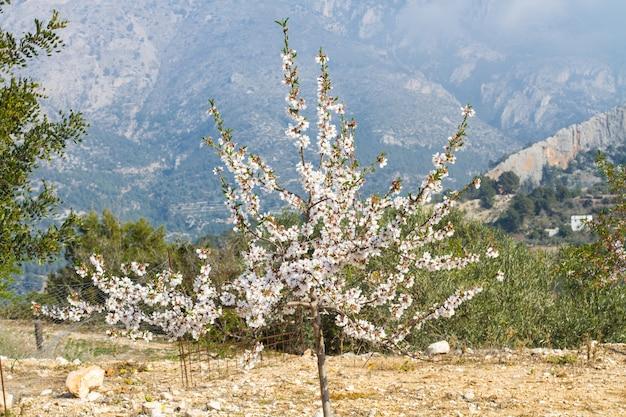 Миндальное дерево в цвету с горой позади
