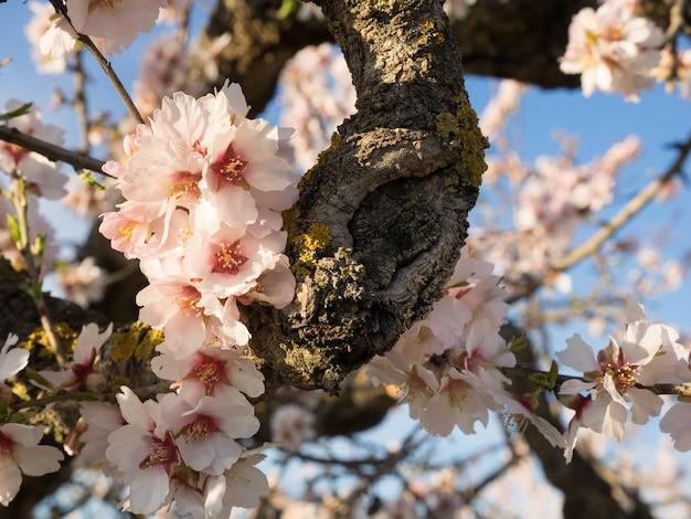 만개에서 아몬드 나무입니다. 아몬드 나무의 분기의 근접 촬영입니다. 꽃이 만발한 아몬드 나무의 필드입니다. 필드의 얕은 깊이