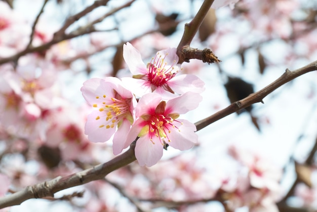Almond tree pink flowers with branches
