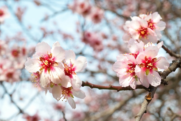 Almond tree with pink flowers and branches