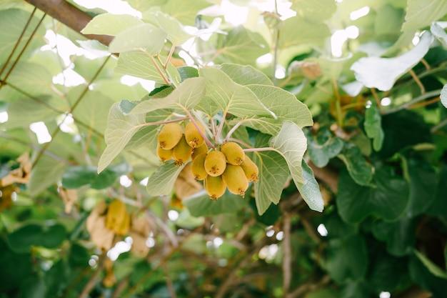 거의 익은 키위 과일이 나무에 매달려 있습니다.