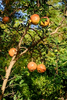 Almost ripe pomegranate fruit hanging on a tree.