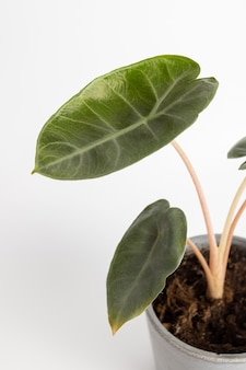 白い背景の孤立した鉢植えの植物のalocasiabagindaピンクドラゴンpfeilblatt