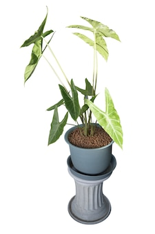 Alocasia longiloba plants with brown round granular die cut on white isolated