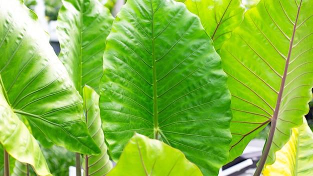 Alocasia macrorrhizos 또는 giant taro 또는 giant alocasia 휴가 배경