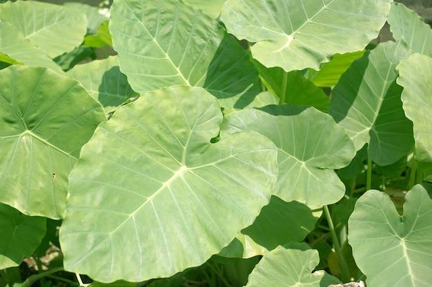 Alocasia macrorrhizos, 열대 코끼리 귀 잎.