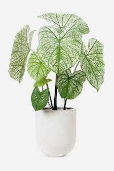 Alocasia polly plant in a white pot