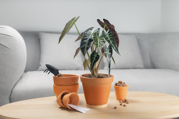 Alocasia sanderiana 황소 또는 alocasia 식물은 거실의 나무 테이블에 점토 냄비에 있습니다. 나무 테이블에 항아리와 액세서리. 심기 전에 도구 및 장비 준비