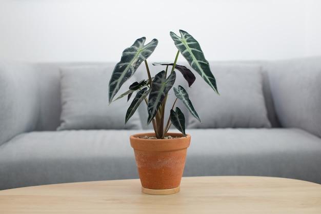 Alocasia sanderiana 황소 또는 alocasia 식물은 거실의 나무 테이블에 점토 냄비에