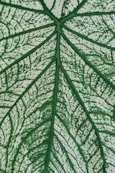Alocassia polly pianta su sfondo grigio chiaro