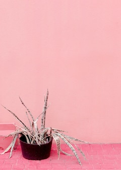 ピンクの壁にアロエ。ピンクのファッションのアイデアの植物
