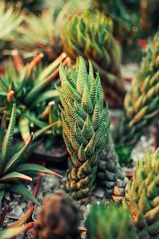 Aloe ostifolia is succulent herbaceous plant, species of the aloe genus of the asphodelaceae family.