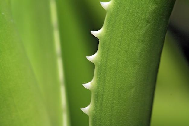 Aloe sheet