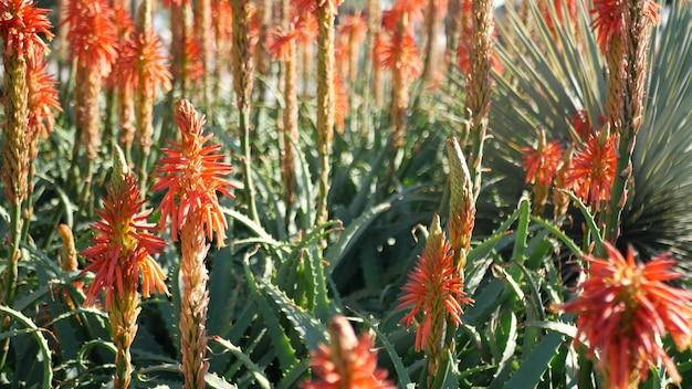 アロエ多肉植物赤い花、カリフォルニア米国。砂漠の植物相、乾燥した気候の自然植物のクローズアップの背景。アロエベラの鮮やかでジューシーな花。アメリカのガーデニング、サボテンとリュウゼツランと一緒に育ちます
