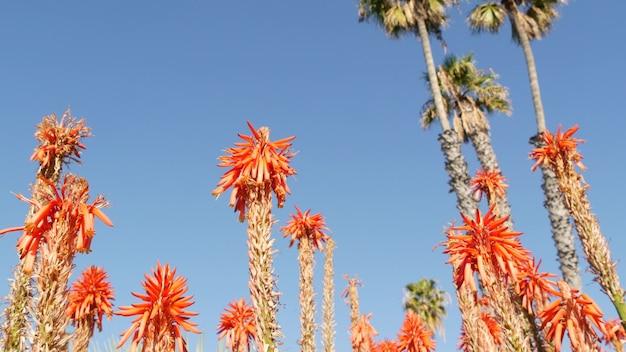 アロエ多肉植物赤い花、カリフォルニア米国。砂漠の植物相、乾燥した気候の自然植物のクローズアップの背景。アロエベラの鮮やかでジューシーな花。アメリカのガーデニングは、サボテンとリュウゼツランとともに育ちます。
