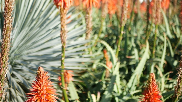 アロエ多肉植物赤い花、カリフォルニア米国。砂漠の植物相、乾燥した気候の自然植物のクローズアップの背景。アロエベラの鮮やかでジューシーな花。アメリカのガーデニングは、サボテンとリュウゼツランとともに成長します。