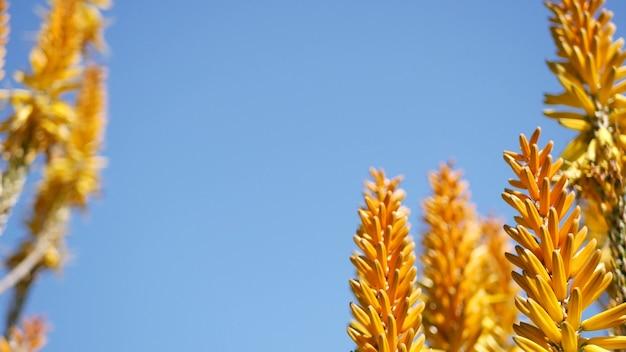Желтый цветок суккулента алоэ, калифорния, сша. флора пустыни, засушливый климат естественный ботанический заделывают фон. яркий апельсиновый цвет алоэ вера. садоводство в америке, растет с кактусом и агавой