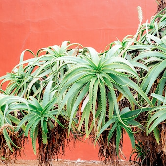 Aloe tree on pink wall. plants on pink fashion concept art