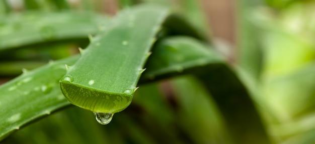 잘린 잎에서 주스의 알로에 베라 방울.