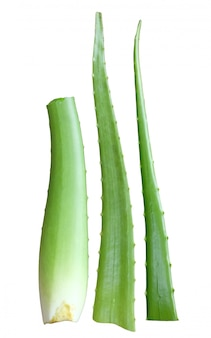 Aloe vera fresh leaf isolated on white