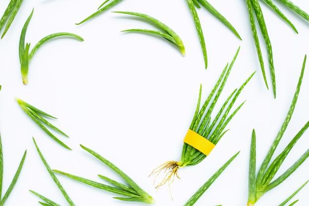 Aloe vera is a popular medicinal plant for health.