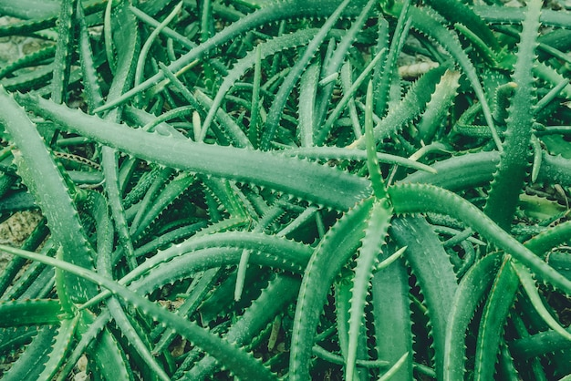 알로에 베라는 열대 녹색 식물로 더운 날씨를 견뎌냅니다. 녹색 잎을 가까이서 알로에 베라 알로