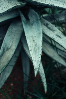 Aloe vera leaves close-up in a botanical garden. a tropical medicinal plant easily tolerates heat.