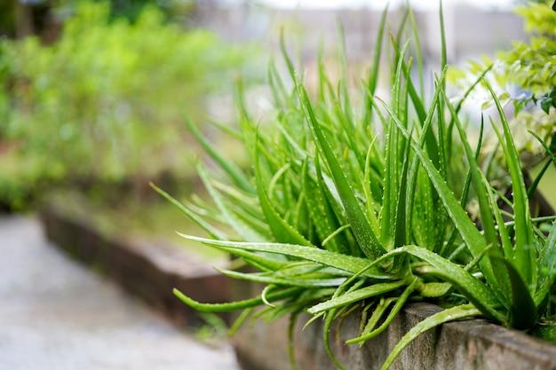 Алоэ вера или звездный кактус в саду тайские травы, обычно используемые для лечения кожи copy space