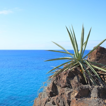 Завод алоэ вера и море на заднем плане, тенерифе, канарские острова. состав copyspace