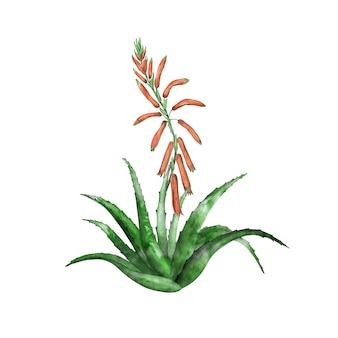 咲くアロエベラの植物