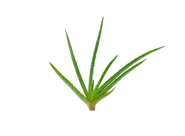 白い背景に分離されたアロエベラの植物