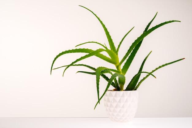 白で隔離されるアロエベラの植物。