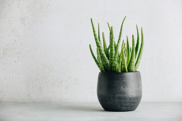 Aloe vera plant in modern pot and white wall