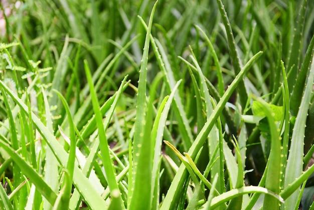 自然の緑の背景にアロエベラの植物