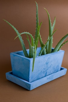 Aloe vera plant potted in painted concrete pot on brown background