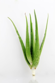 Aloe vera plant which has many benefits for health