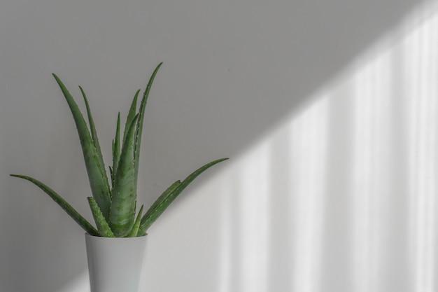 Aloe vera plant in white pot isolated on white background.
