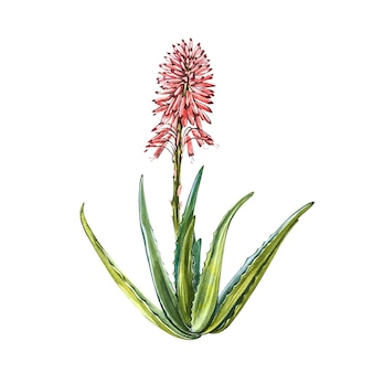 Aloe vera plant with flower in watercolor style
