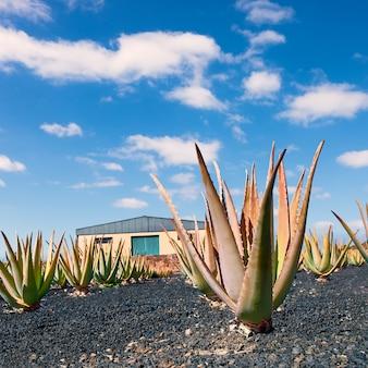 Aloe vera plantation at fuerteventura