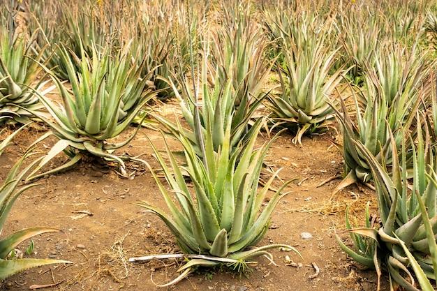 Плантация алоэ вера - множество зеленых растений на острове тенерифе, канарские острова, испания.