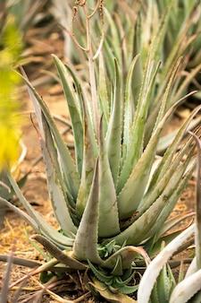 アロエベラのプランテーション-スペイン、カナリア諸島、テネリフェ島の多くの緑の植物。