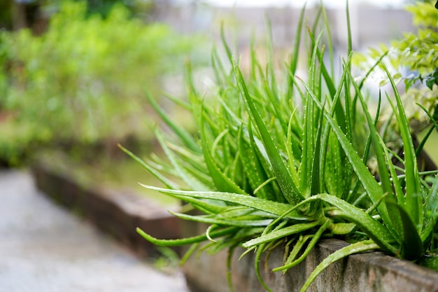 Aloe vera or star cactus in garden thai herbs commonly used to treat skin copy space