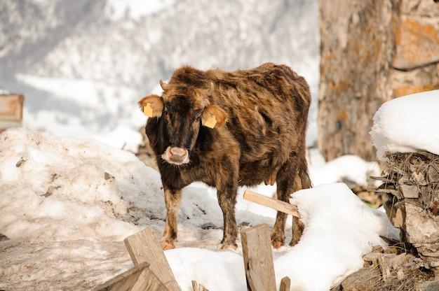 Одна коричневая корова стоит на улице зимой в ожидании хозяина на заброшенном месте