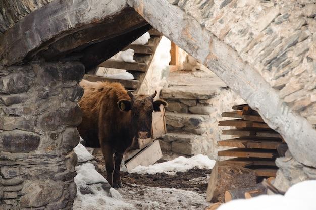 Одинокая корова стоит на старинном здании зимой в ожидании хозяина на заброшенном месте