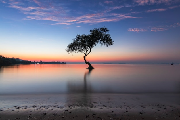 Alone mangrove tree and morning sunrise on the beautiful beach and sky at chumphon, thailand.