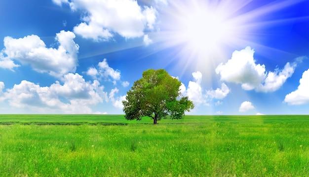 태양과 녹색 초원에 혼자 하나의 큰 나무입니다. 파노라마