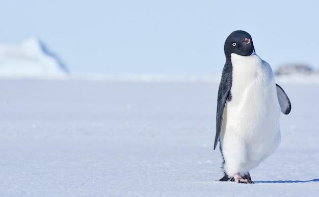 Alone penguin in antarctica