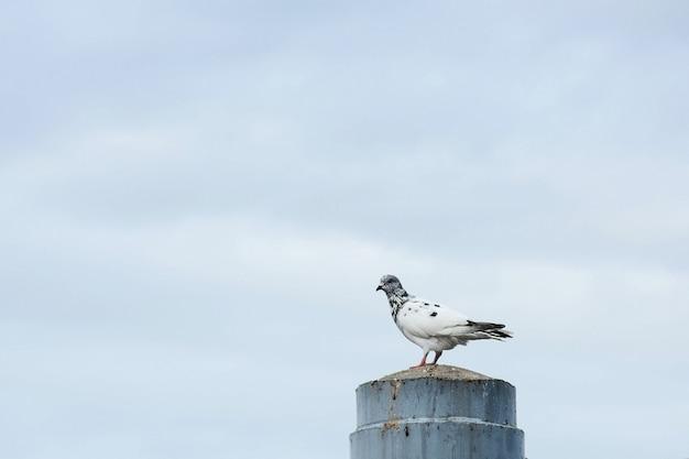 Один голубь